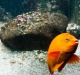 Free Photo - bright orange fish