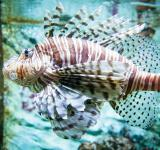 Free Photo - Flying lionfish