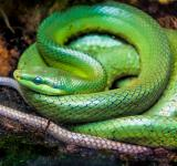 Free Photo - Green pit viper