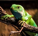 Free Photo - Water dragon lizard
