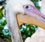 Free Photo - Pelican close up