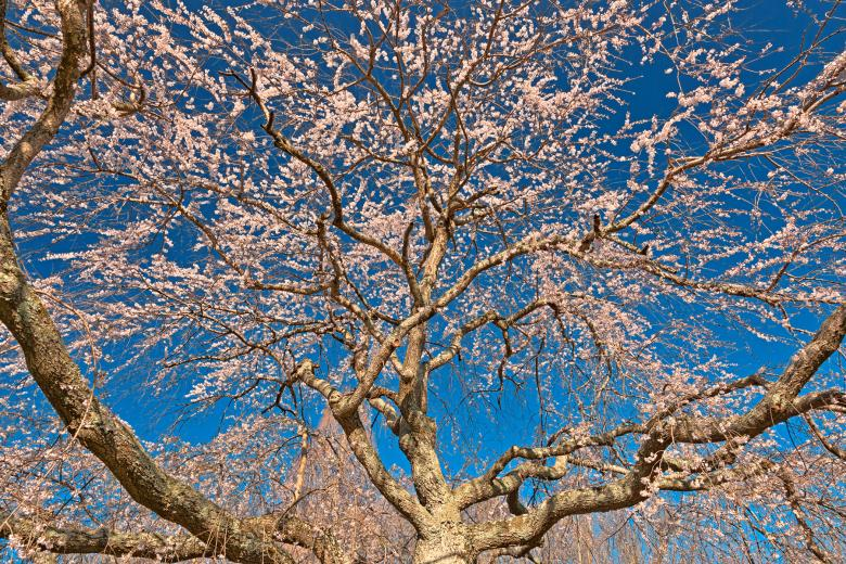 Free Stock Photo of Cherry Blossom Tree Close-up - HDR Created by Nicolas Raymond