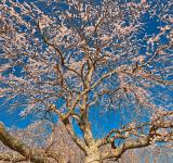 Free Photo - Cherry Blossom Tree Close-up - HDR