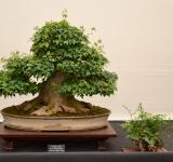 Free Photo - Trident maple bonsai
