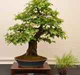Free Photo - Chinese quince bonsai