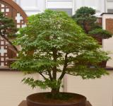Free Photo - Japanese mountain maple bonsai