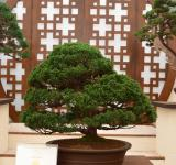 Free Photo - Chinese juniper bonsai tree