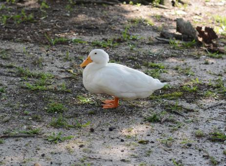 White duck - Free Stock Photo