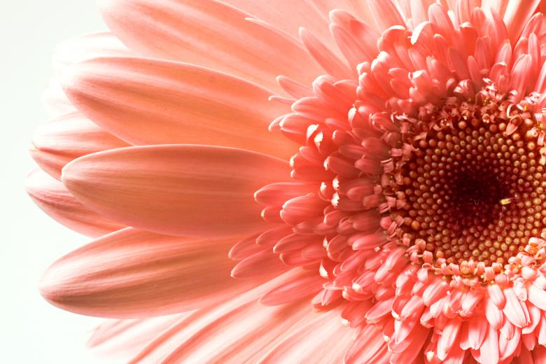 Free Stock Photo of Pink Gerbera Flower Created by 2happy