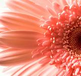 Free Photo - Gerbera flower