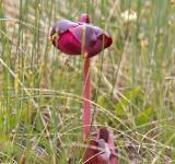 Free Photo - Pitcher Plant