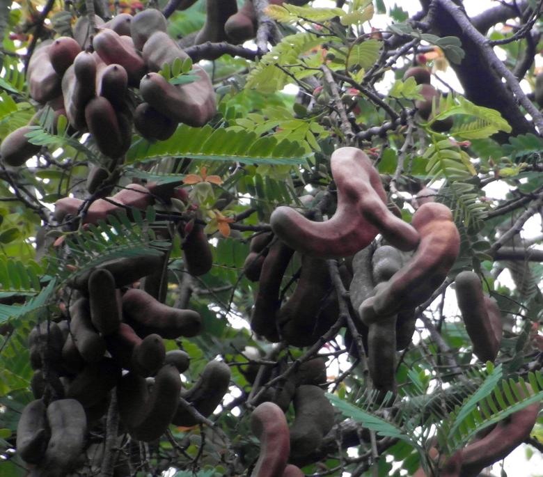 Free Stock Photo of Tamarind Fruit Tree Created by Ivan