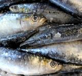Free Photo - Fresh sardines on salt
