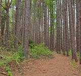 Free Photo - Cranesville Swamp Pine Trail - HDR