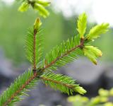 Free Photo - Spruce tips
