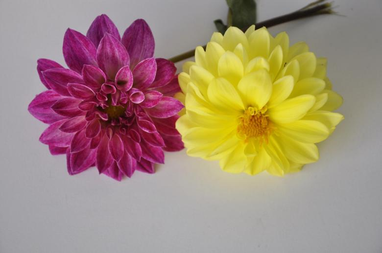 Free Stock Photo of Two Beautiful Flowers Created by Bilal Aslam
