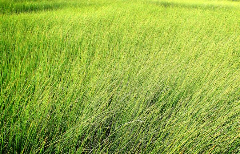 Tall grass Texture Free Stock Photo by Jack Moreh on Stockvaultnet