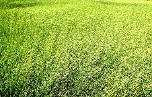 Tall grass - Texture - Free Stock Photo