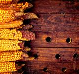 Free Photo - Rustic corn cobs on wooden background - Organic farming