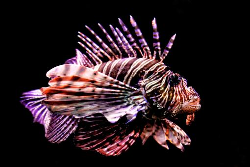 Tropical fish - Red Lionfish - Pterois volitans - Free Stock Photo