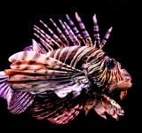 Free Photo - Tropical fish - Red Lionfish - Pterois volitans