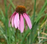 Free Photo - Pink coneflower in bloom