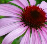 Free Photo - Pink coneflower