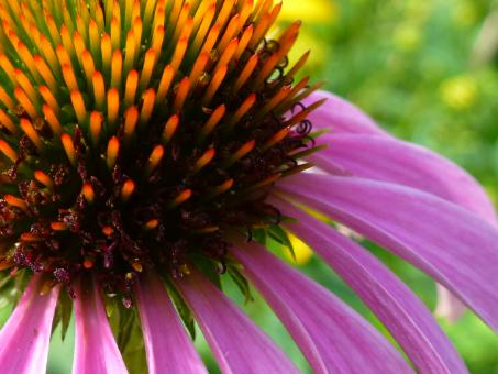 Pink coneflower closeup - Free Stock Photo