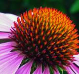 Free Photo - Pink coneflower closeup