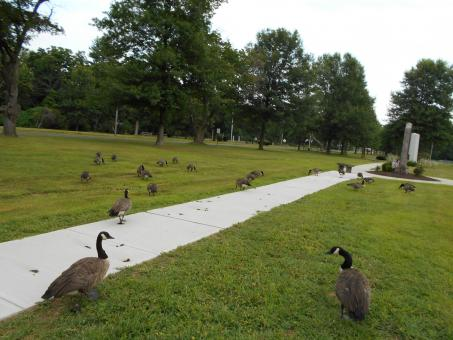 Geese in Bristol ct - Free Stock Photo
