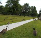 Free Photo - Geese in Bristol ct