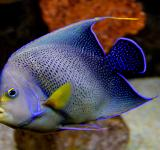 Free Photo - Blue Angelfish - Pomacanthus semicirculatus