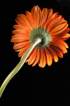 gerbera - Free Stock Photo