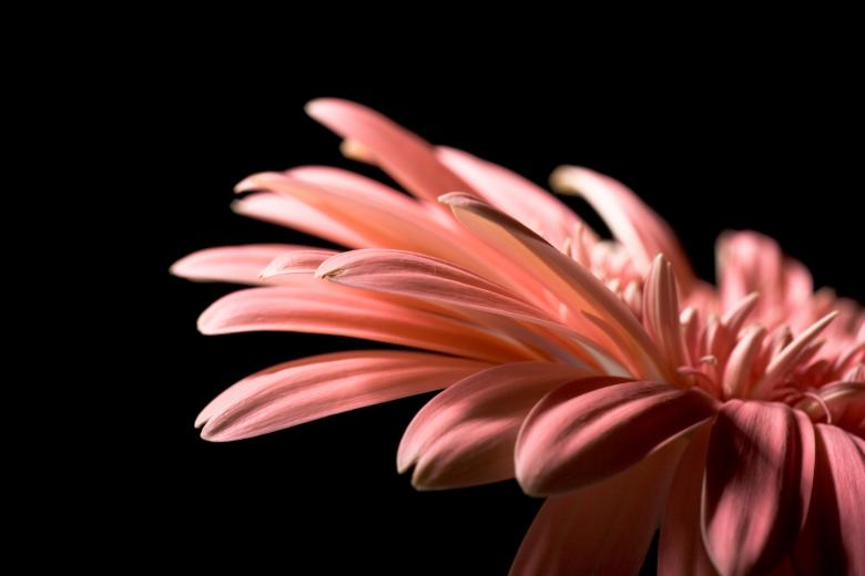 Gerbera Flower Free Stock Photo