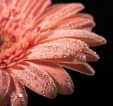 Free Photo - water drops on flower petals