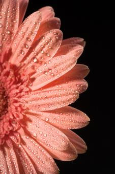 water drops on flower petals - Free Stock Photo