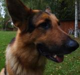 Free Photo - German sheppard