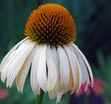 Free Photo - White Coneflower