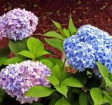 Free Photo - Hydrangeas flowers