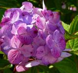 Free Photo - Hydrangeas Flowers Closeup