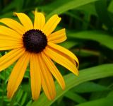 Free Photo - Black Eyed Susan Flower Close Up
