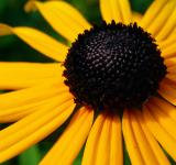 Free Photo - Rudbeckia