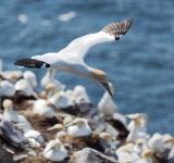 Free Photo - Northern Gannet