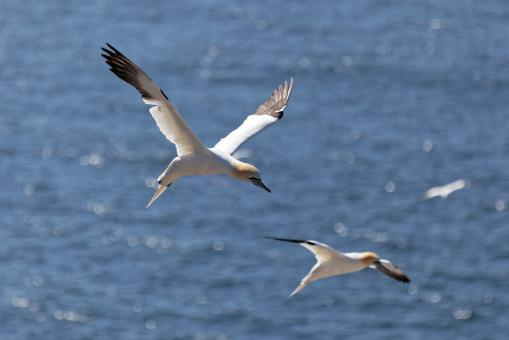 Northern Gannet - Free Stock Photo
