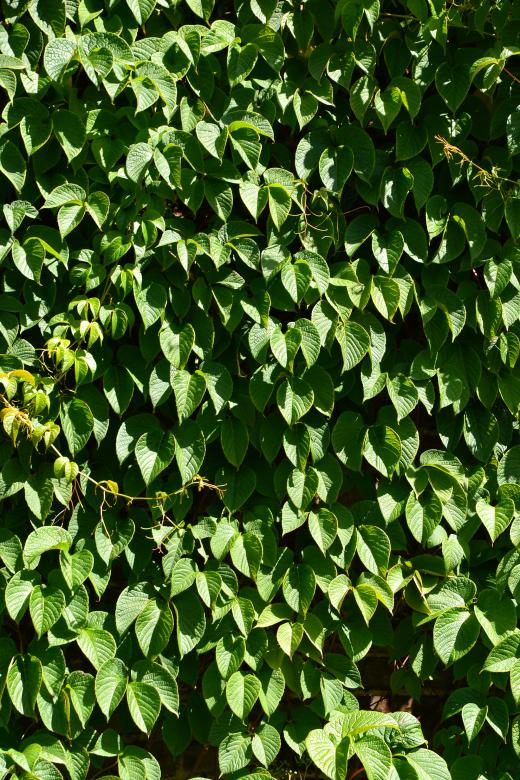 Free Stock Photo of Leaves of creeper Created by Tomas Adomaitis