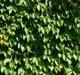 Free Photo - Leaves of creeper