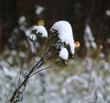 Free Photo - Dry plant covered with snow