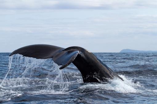 Whale tail - Free Stock Photo