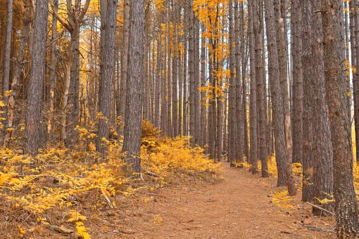 Cranesville Swamp Pine Trail - Gold Fantasy HDR - Free Stock Photo