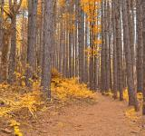 Free Photo - Cranesville Swamp Pine Trail - Gold Fantasy HDR
